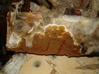 Dry Rot Fruiting Body
